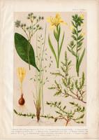Magyar növények (67), litográfia 1903, színes nyomat, virág, lelleg, szikőr, nőszirom, csenkesz