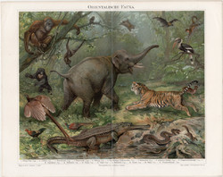 Keleti, ázsiai állatvilág, litográfia 1894, német nyelvű, eredeti, színes nyomat, Ázsia, elefánt