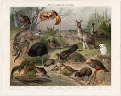 Ausztrál állatvilág, litográfia 1894, német nyelvű, eredeti színes nyomat, Ausztrália, kenguru