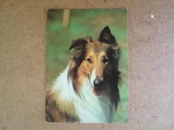 Régi képeslap - Skót juhászkutya