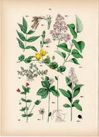 Pénzlevelű lizinka, mezei tikszem, magas kőris, fagyal, orgona litográfia 1884, növény, virág