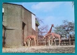 Állatos postatiszta képeslap - zsiráfok