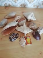 12 db nagyméretű kagyló gyűjtemény